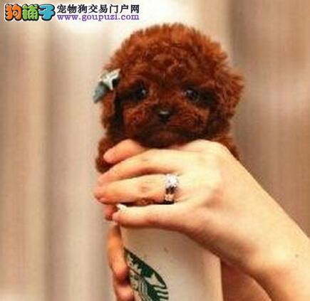 广州哪里有卖茶杯犬 纯种茶杯犬多少钱一只