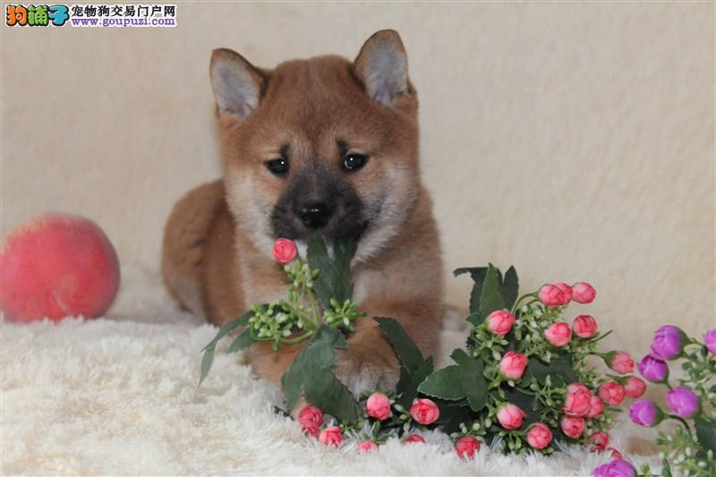 赛级日本柴犬幼犬出售品相好血统纯可看父母价可面议