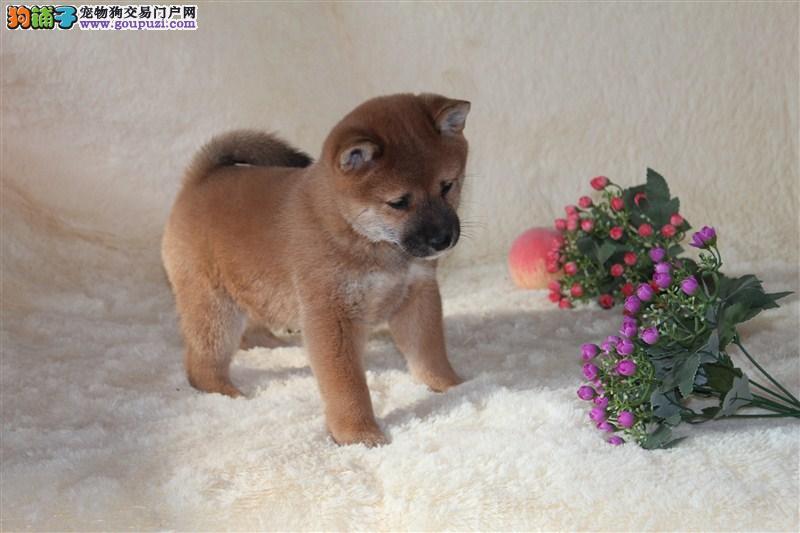 自家繁殖日本柴犬 保纯种保健康 可视频看狗 签协议1