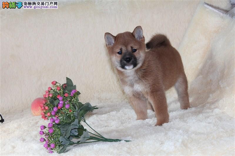 精品日本柴犬赛级犬出售 证书芯片齐全 签订售后协议
