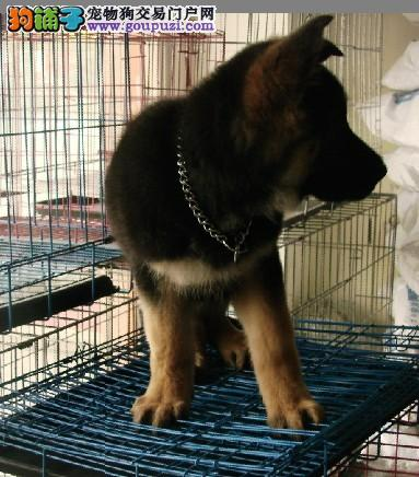 纯种狼狗 CKU认证血统 保纯保健康 可签协议