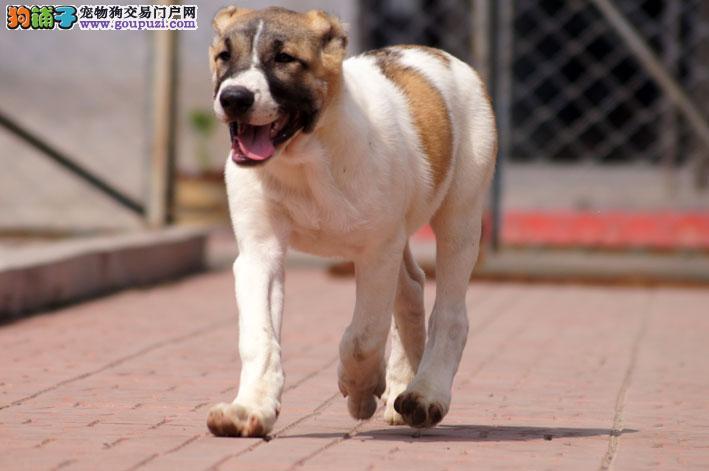 中亚牧羊犬宝宝热销中 血统纯正包品质 三年联保协议