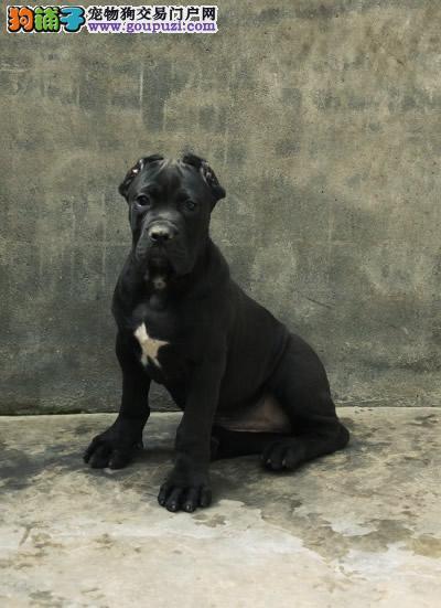 长沙哪里有宠物店,哪里可以买到卡斯罗犬