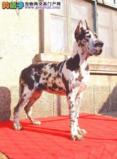 大丹犬花丹南充自家养的骨架大幼犬诚意出售健康有保障