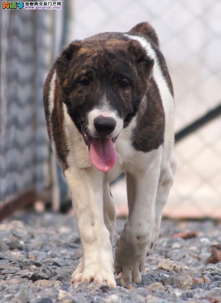 CKU犬舍认证出售高品质曲靖中亚牧羊犬购犬可签协议