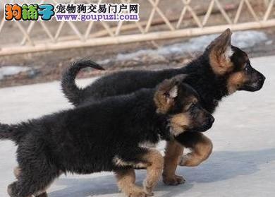 出售狼狗颜色齐全公母都有保证品质完美售后