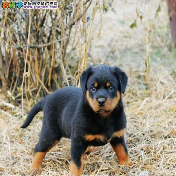 专业繁殖高品质罗威纳 防暴犬带证书出售中 签协议1