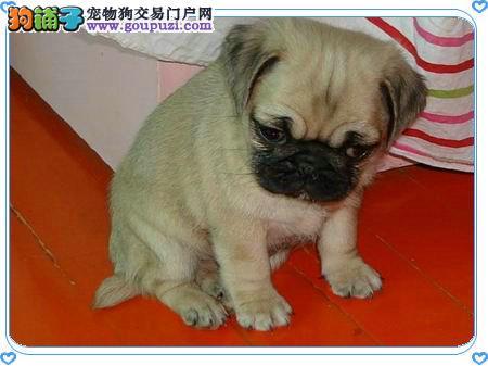 唐山市出售巴哥犬 公母都有 疫苗齐全 可视频看狗 包邮