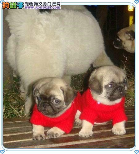 出售纯种迷你巴哥幼犬 疫苗齐全品质有保,包纯种