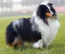 昆明售喜乐蒂犬品质保证特惠出售公母都有可上门挑选