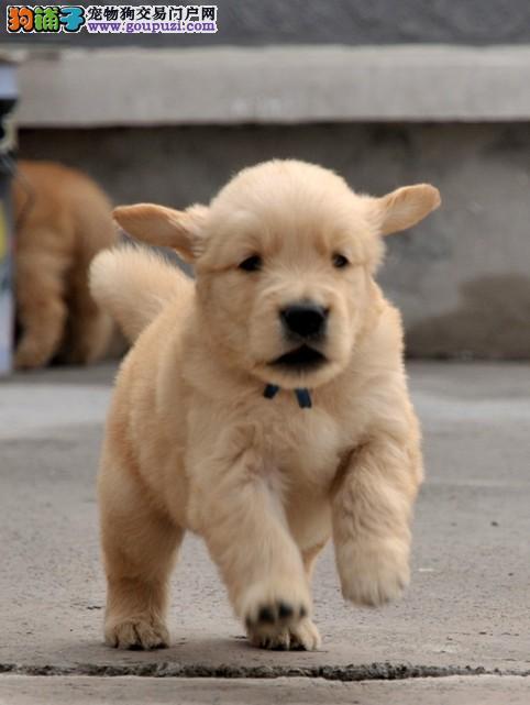 深圳售金毛幼犬黄金猎犬幼犬公母全有