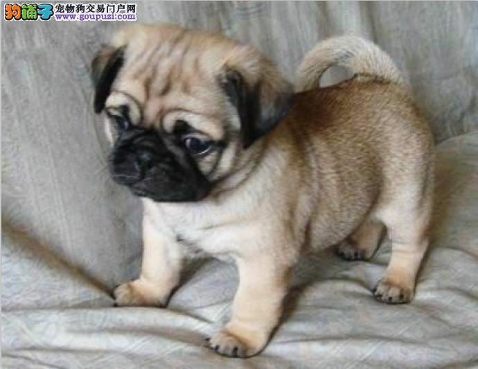 出售多种颜色纯种巴哥犬幼犬可直接视频挑选