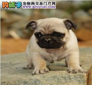 纯种巴哥犬幼犬出售 长相蠢萌 血统纯正 可见狗父母4