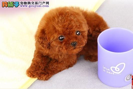 知名犬舍出售多只赛级茶杯犬价格美丽品质优良