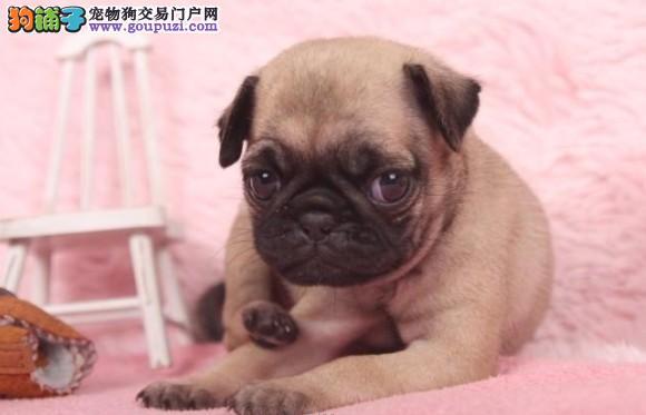 绍兴纯种巴哥犬幼犬出售 疫苗驱虫已做 包品质健康