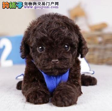 家养多只茶杯犬宝宝出售中品质一流三包终身协议