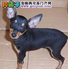 连云港出售小鹿犬幼犬品质好有保障三针疫苗齐全1