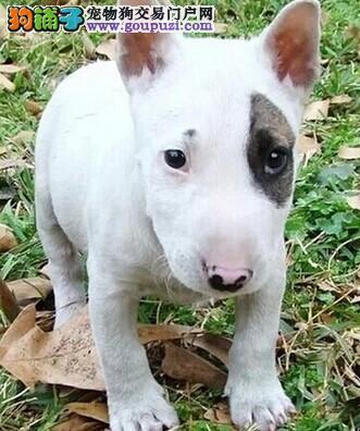 牛头梗幼犬、纯白色牛头梗 、海盗眼牛头梗1