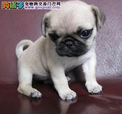 南京哪里有卖巴哥犬 南京纯种巴哥哪里有 多只挑选2