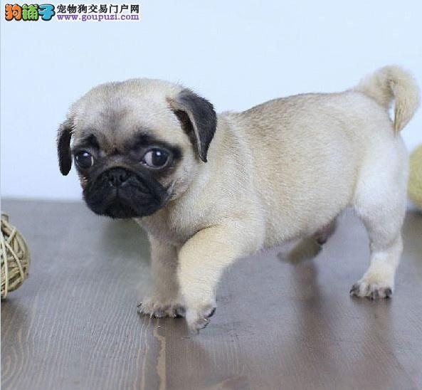 南京哪里有卖巴哥犬 南京纯种巴哥哪里有 多只挑选3