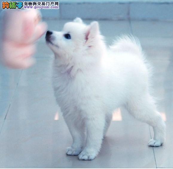 西安实体店热卖银狐犬颜色齐全可直接视频挑选