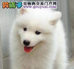 家养多只贵阳银狐犬宝宝出售中喜欢加微信可签署协议