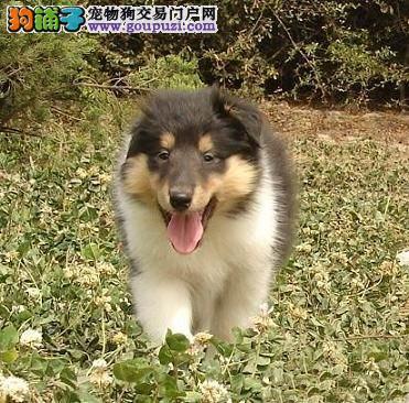 南京贵族高品质苏格兰牧羊犬幼犬可爱活泼健康幼犬