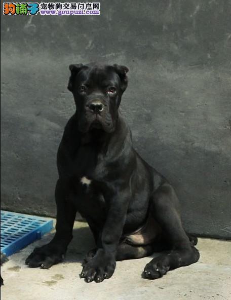 大型犬 猛犬 赛级护卫犬 纯种卡斯罗幼犬出售
