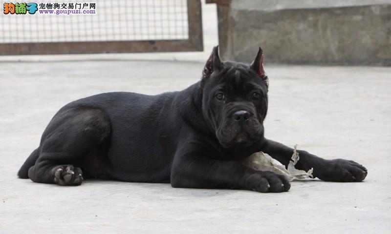 出售意大利护卫犬卡斯罗幼犬15条1