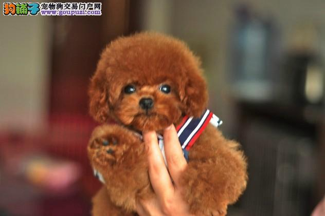 多种颜色的福州茶杯犬找爸爸妈妈保证冠军级血统