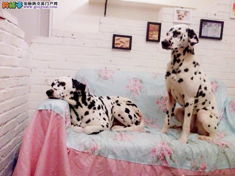 西城繁殖基地售高品质大麦町犬斑点狗签署合同售后完善
