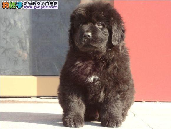 实物拍摄的纽芬兰犬找新主人真实照片包纯图片