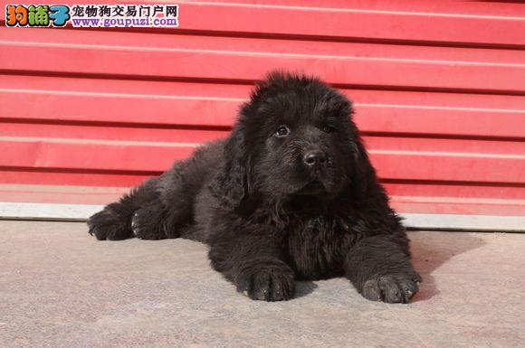 自家繁殖纽芬兰犬出售公母都有微信看狗真实照片包纯1