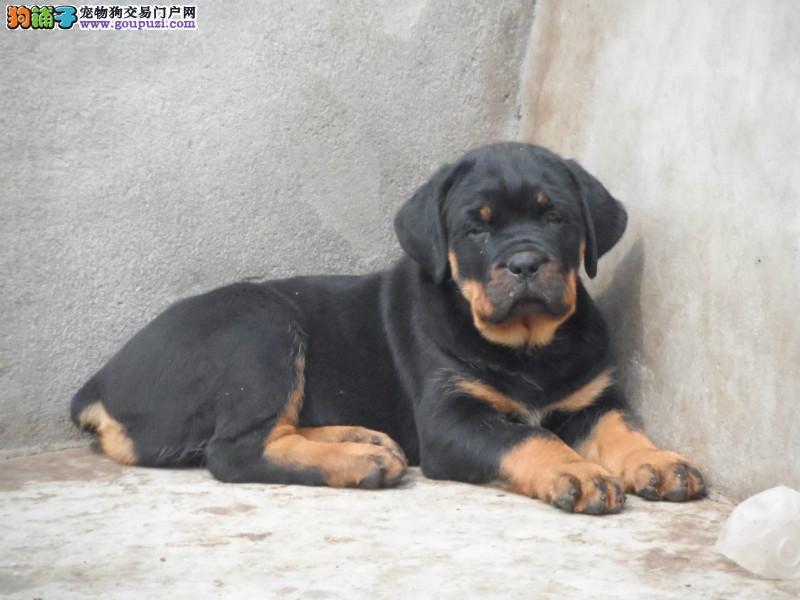 纯血统罗威纳幼犬、金牌店铺品质第一、绝对信誉保证