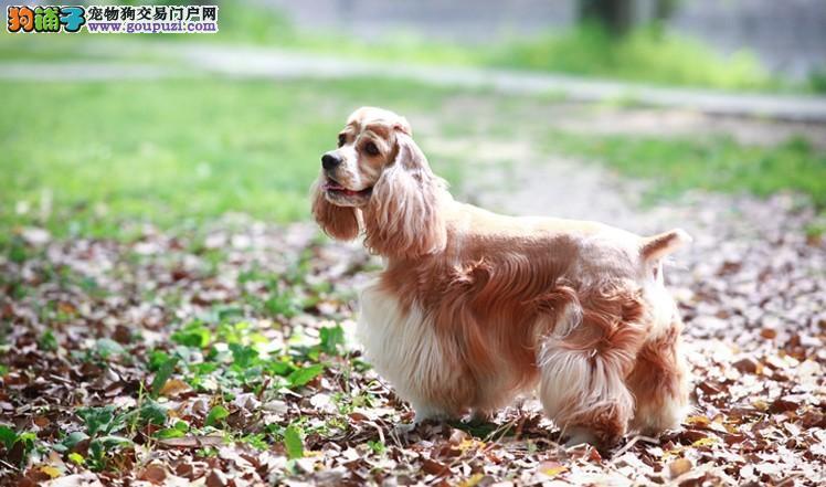 美国可卡和英国可卡_可卡犬价格多少英国可卡犬价位多少美国可卡多