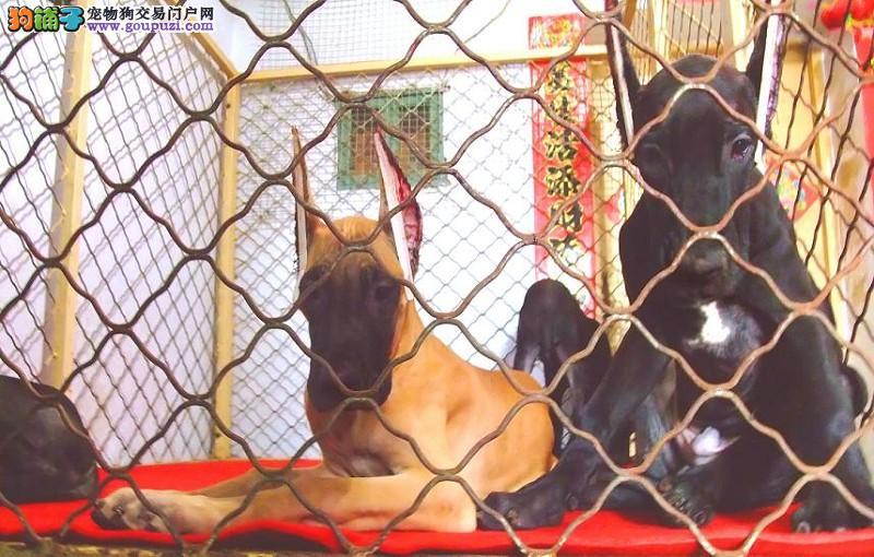 显得雄壮、或显得柔美的狗狗 大丹 欢迎选狗