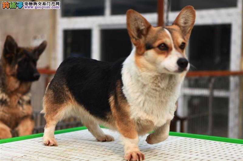 武汉威尔士柯基犬出售 纯种柯基幼犬三色两色均可挑选