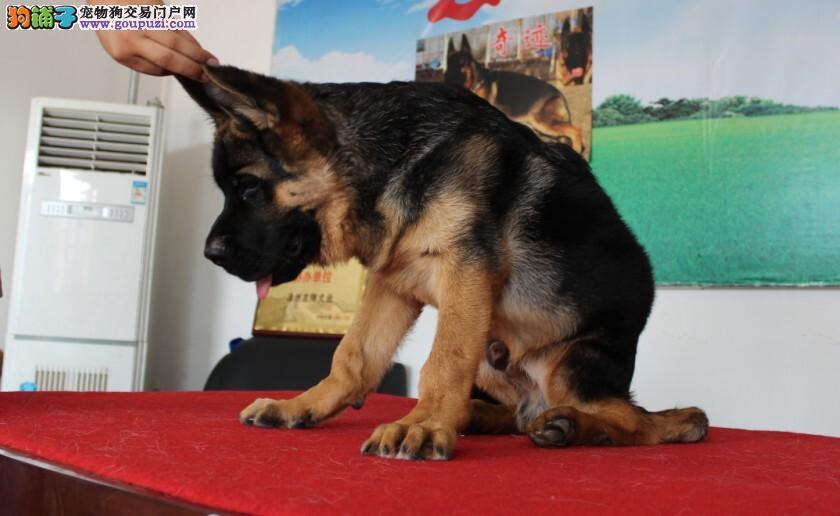 顶级优秀的纯种狼狗北京热卖中可签订活体销售协议