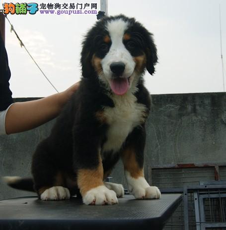 极品伯恩山幼犬、纯度好100%健康、可送货上门1
