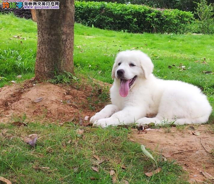 程度繁殖出售雪兽系赛级大白熊幼犬 骨骼大毛质好健康