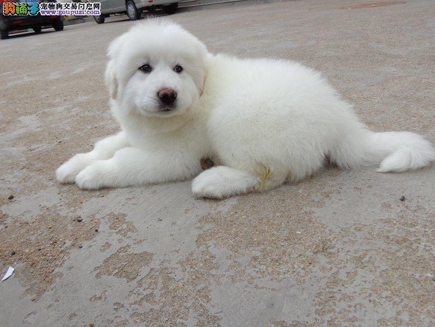 出售纯种大白熊公母幼犬有品质保证4