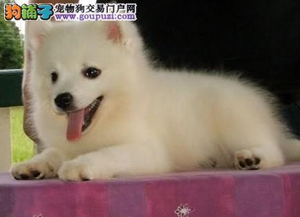 高端银狐犬幼犬 一宠一证视频挑选 寻找它的主人