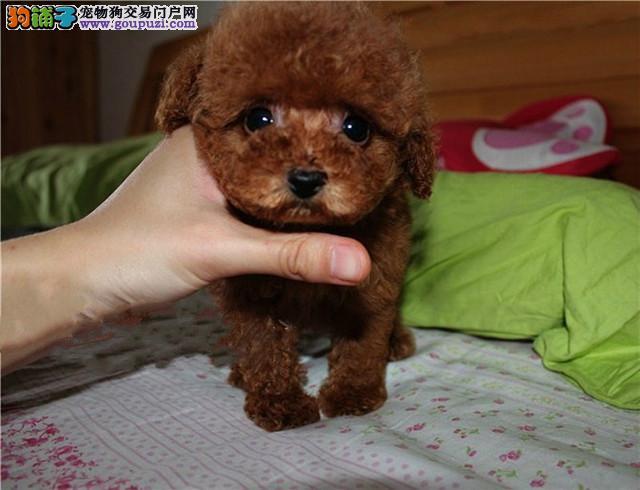 赛级茶杯犬幼犬,三针齐全保健康,签订终身合同