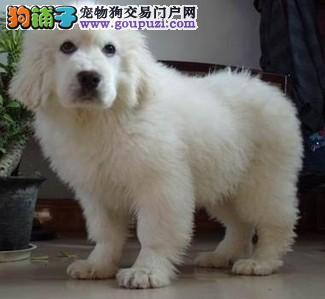 哪里有大白熊犬出售的 纯种大白熊幼犬哪里有