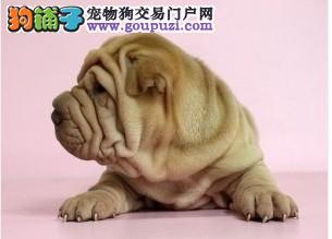 热销多只优秀的兰州纯种沙皮狗幼犬欢迎爱狗人士上门选购