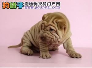 出售正宗血统优秀的福州沙皮狗实物拍摄直接视频