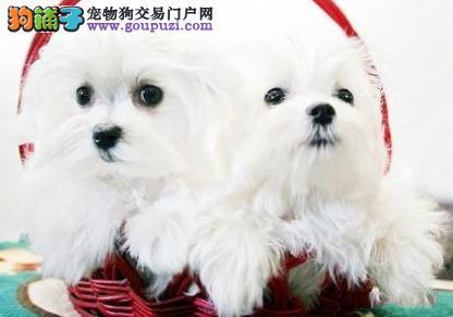 广州出售小体型马尔济斯幼犬品质健康都有保障
