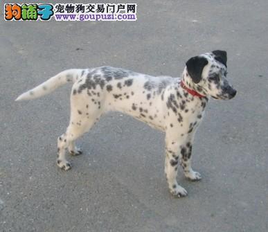 纯种斑点犬 赛级斑点犬 斑点犬什么价格