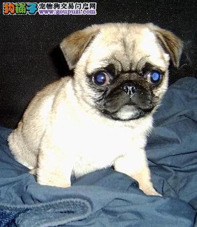 专业正规犬舍热卖优秀的巴哥犬签订终身协议