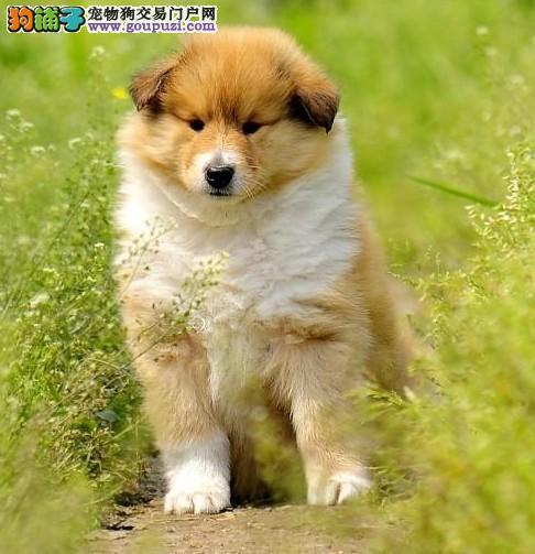 齐齐哈尔专业养殖极品喜乐蒂幼犬 品质保证欢迎选购